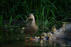 Ducklings at the Fascieux Creek Wetland, Kelowna, B.C.
