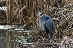 Great Blue Herron at the Fasciexx Creek Wetland, Kelowna,  B.C.