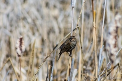 Female Redwing Blackbird at the Fascieux  Creek Wetland, Kelowna, B.C.