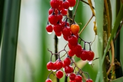 Berries_in_the_Rain_N0013